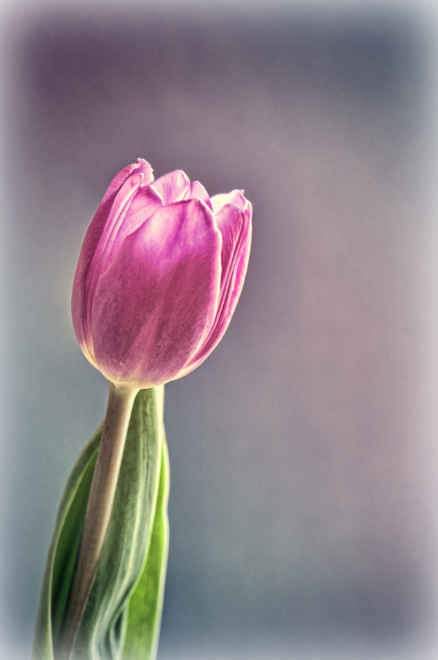 Vintage purple tulip