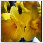 March 10 - Daffodils