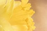 March 11 - Daffodil