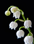 May 5th - Lily of the Valley