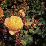 10th June - Roses