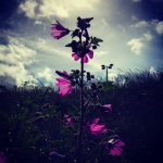 19th June - Wild Geraniums