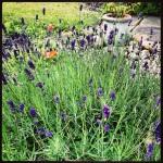 22nd June - Lavender