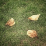 29th June - Chickens