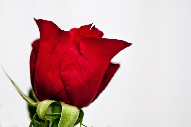 25th  - Red Rose