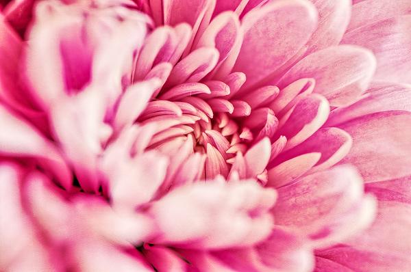 Chrysanthamum1