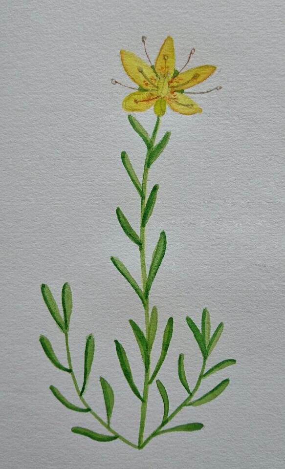 Marsh saxifrage